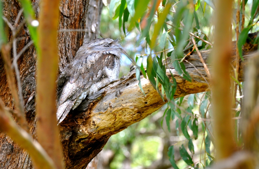 Tawny frogmouth is the classic position