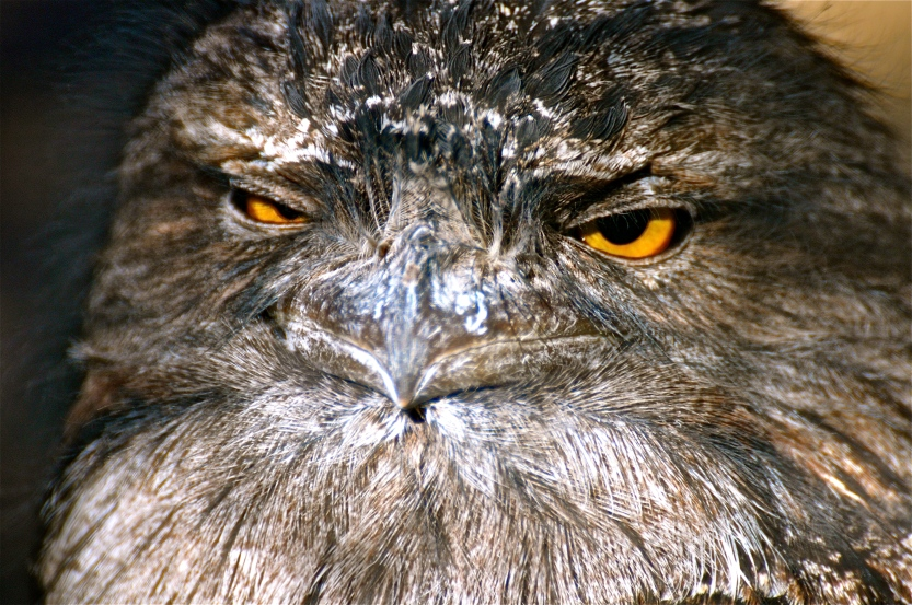 A key identification mark between frogmouths; the eyes