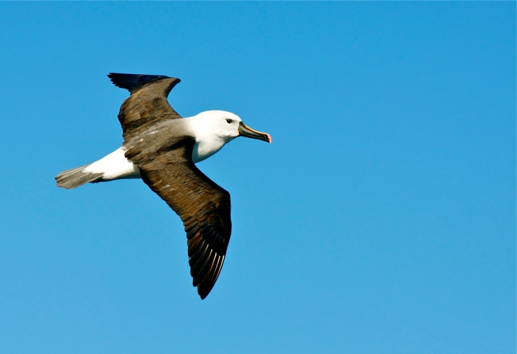 Eastern Yellow-nosed Albatross