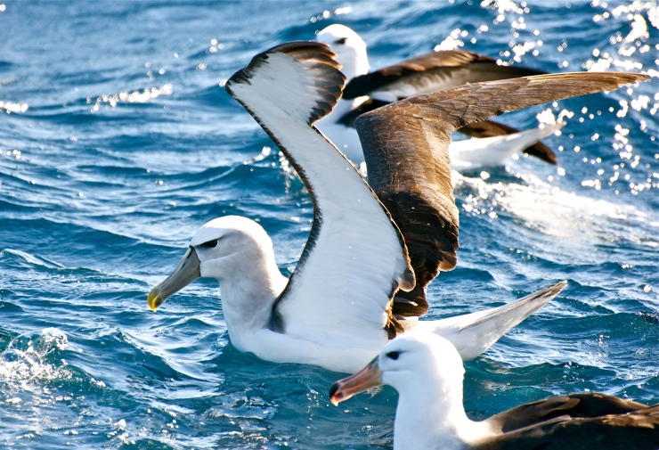 Shy albatross with a Black-browed albatross