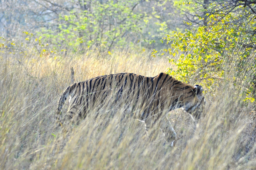 A huge male tiger