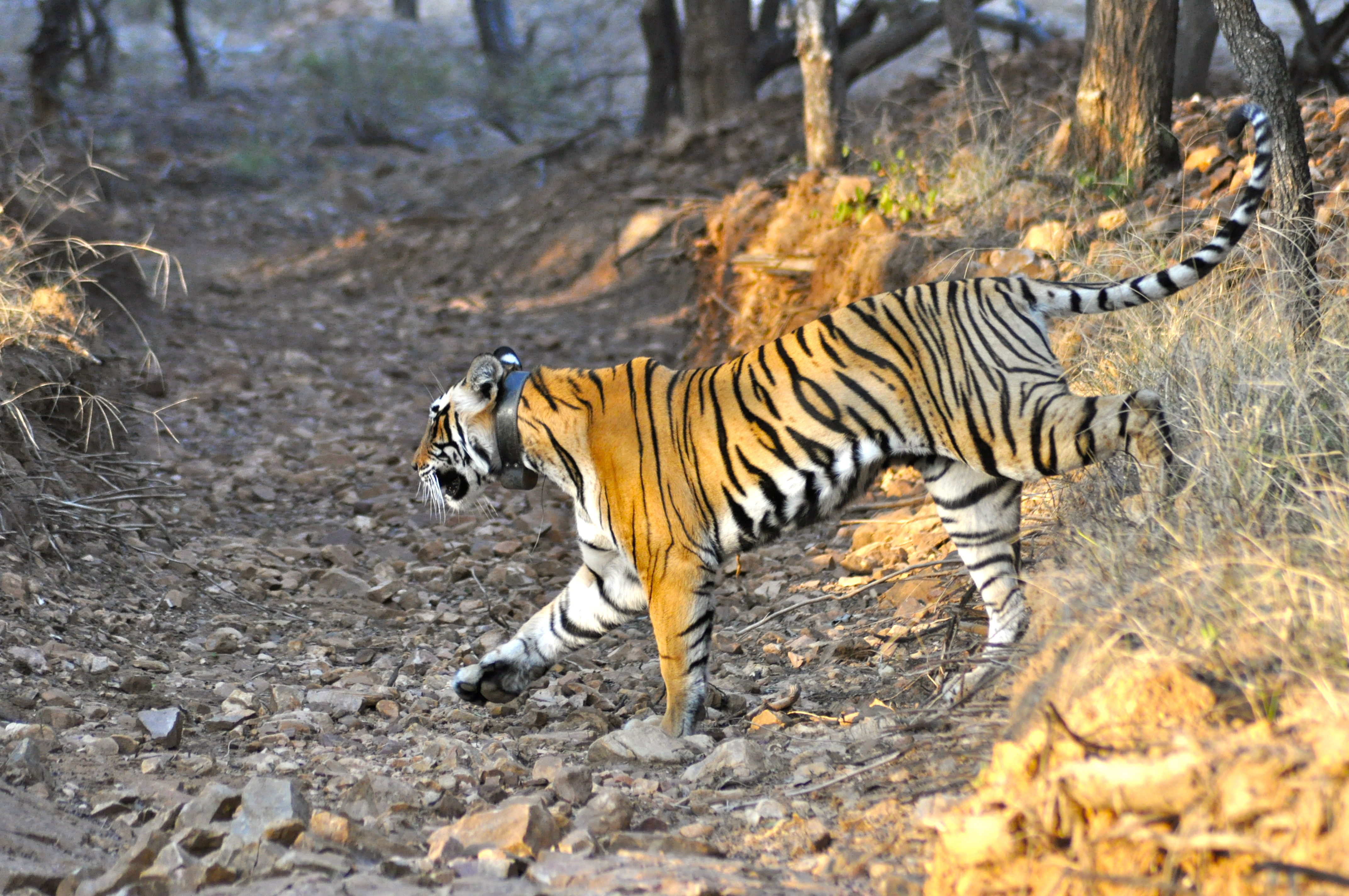 royal bengal tigers Download royal bengal tiger free images from stockfreeimages many free stock images added daily.