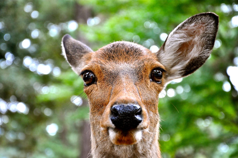 The sacred deer of nara incidental naturalist incidental naturalist buycottarizona Images
