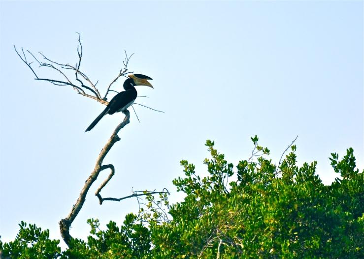 Malabar Pied hornbill - Sri Lanka
