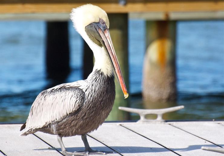 Adult non-breeding plumage