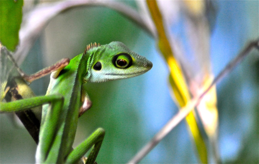 Singapore native Green-crested lizard