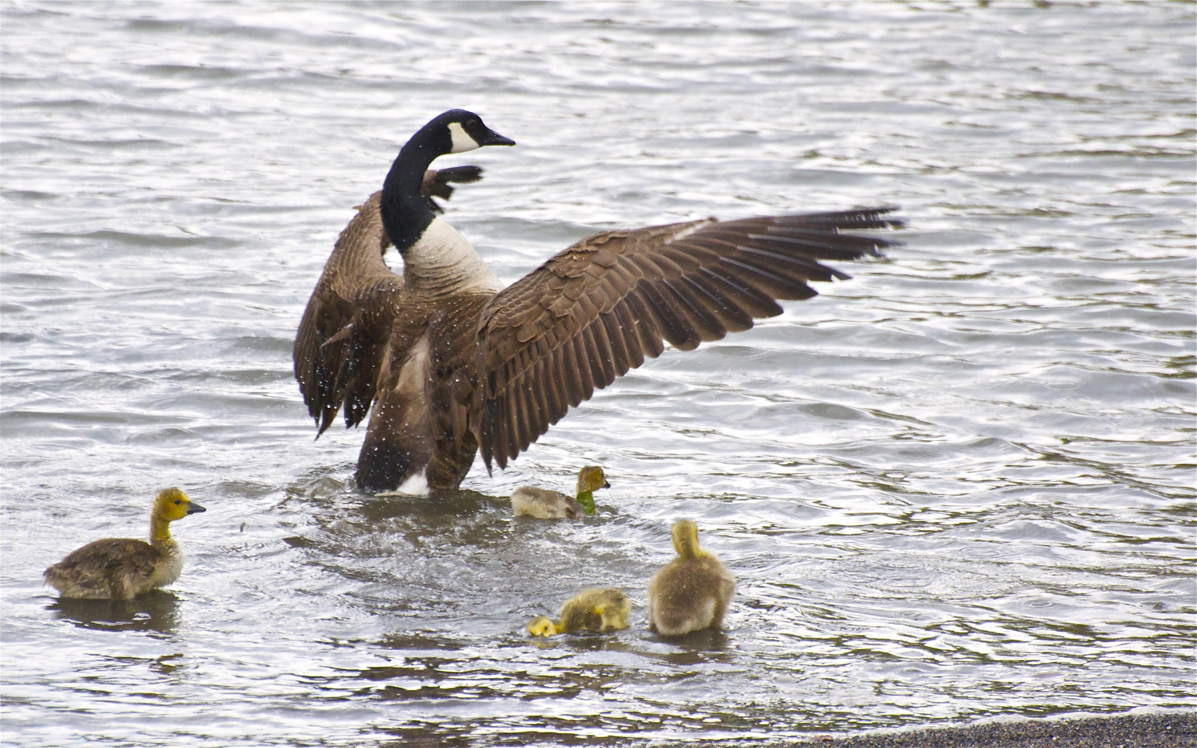 Canada Goose hats replica discounts - Surviving The Big Apple �C Canada Geese | Incidental Naturalist