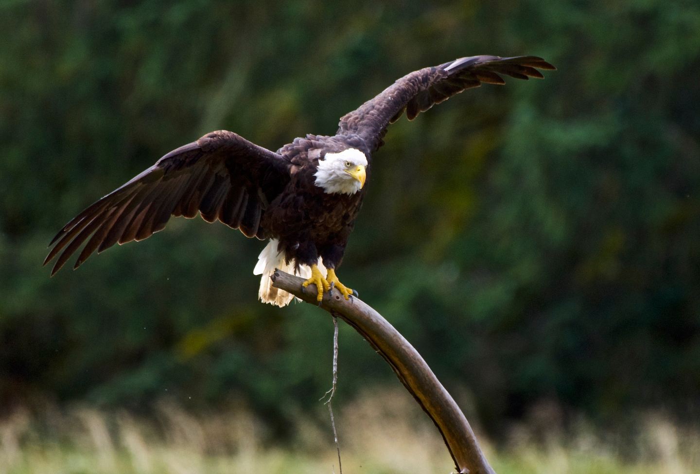 North american icon the bald eagle incidental naturalist incidental naturalist biocorpaavc